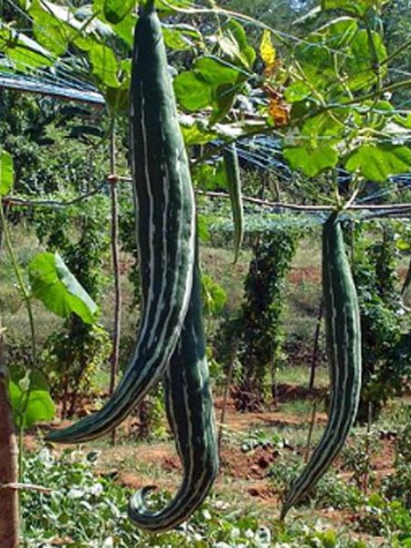 Trichosanthes cucumerina var. anguina