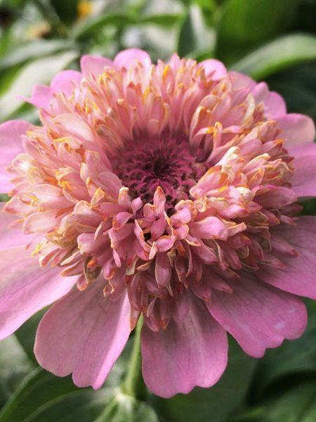 Zinnia elegans 'Cupcakes Blush'