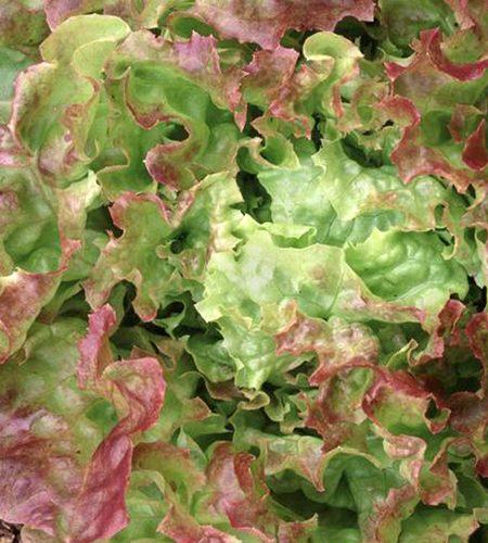 Lettuce 'Blushed Icy oak' Oakleaf