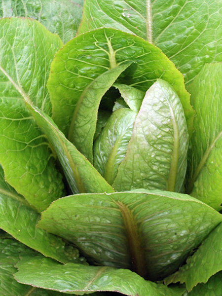 Lettuce 'Brown Goldring' romaine