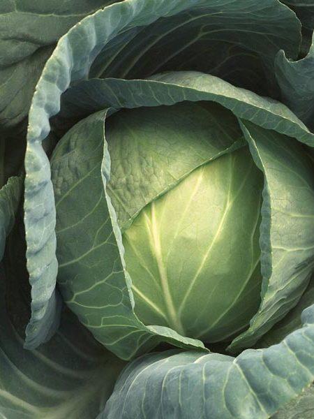 Cabbage 'Bobcat' F1