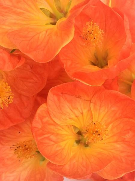 Abutilon 'Lucky Lantern Tangerine'