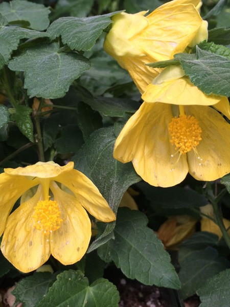 Abutilon 'Lucky Lantern Yellow'