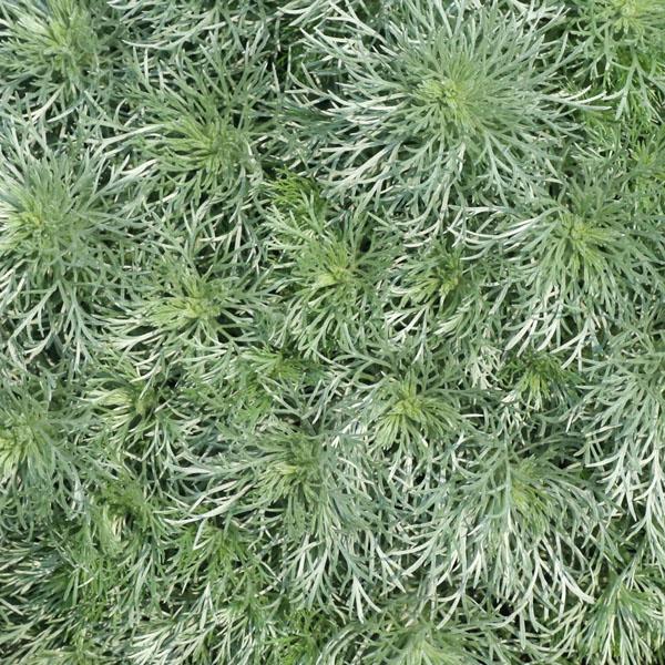 Artemisia 'Silvermound' (Artemisia schmidtiana)