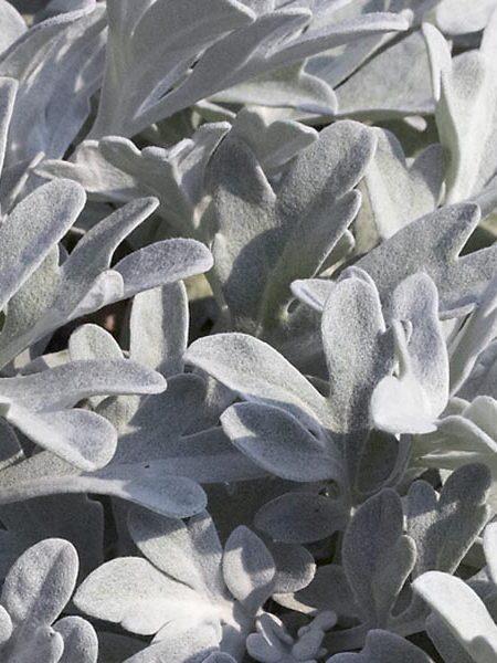 Artemisia 'Silver Brocade' (Artemisia stelleriana)
