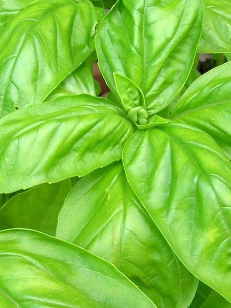 Basil Italian Large Leaf (Ocimum basilicum)