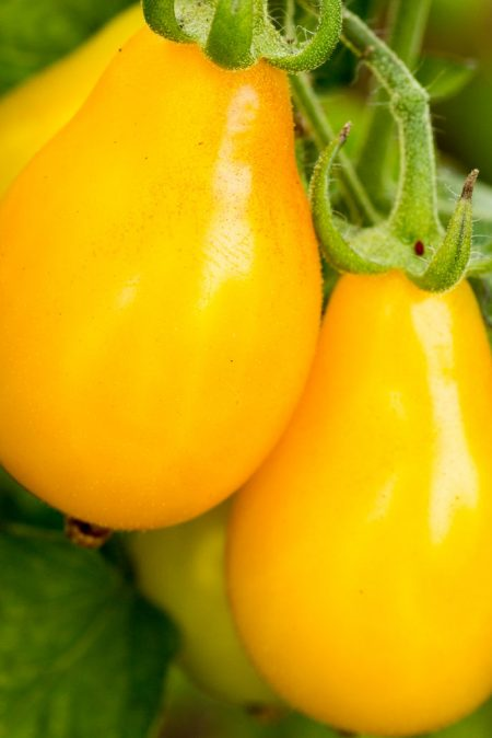 Heirloom Tomato 'Beam's Yellow' pear