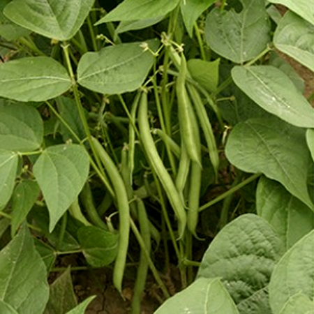 Heirloom Bean 'Speedy Bush' Filet Bean