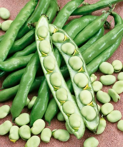 Heirloom Bean 'Windsor Bush Broad' Fava Bean