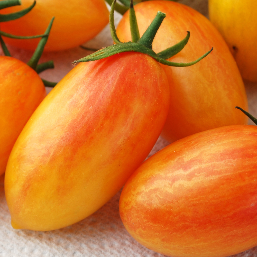 Tomato 'Blush'