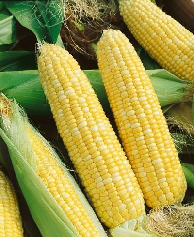 Corn 'Serendipity' Bicolor