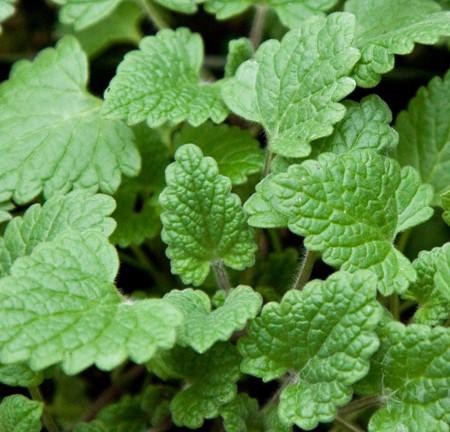 Catnip (Nepeta cataria)