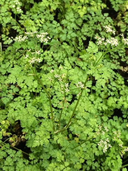 Chervil 'Brussels Winter' (Anthriscus cerefolium)