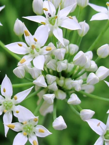 Chives Garlic (Allium tuberosum)