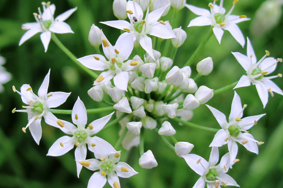 Chives Garlic (Allium tuberosum)