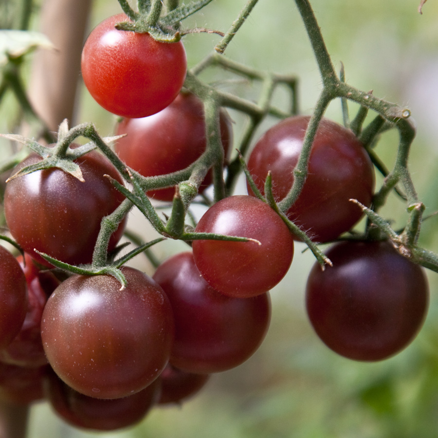 Tomato 'Chocolate Cherry' Cherry Tomato