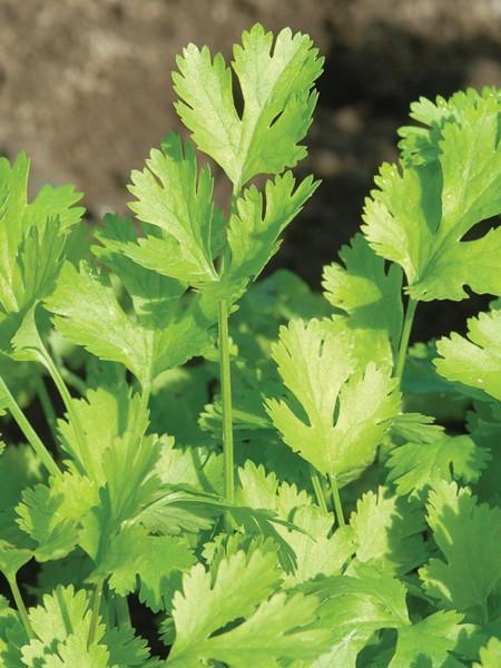 CILANTRO 'Calypso' (Coriandrum sativum)