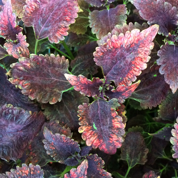 Coleus 'Stained Glassworks Molten Lava', Tall