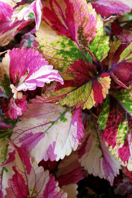 Coleus 'Stained Glass Tilt-A-Whirl', Dwarf