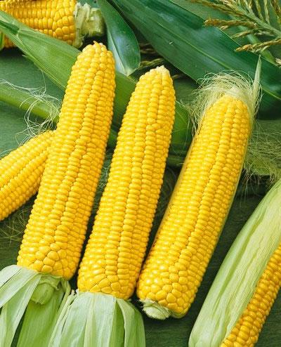 Corn 'Honey Select' Yellow