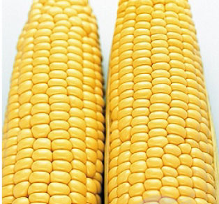 Corn 'Jubilee' Yellow
