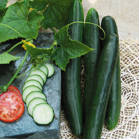 Cucumber 'Summer Dance' Burpless