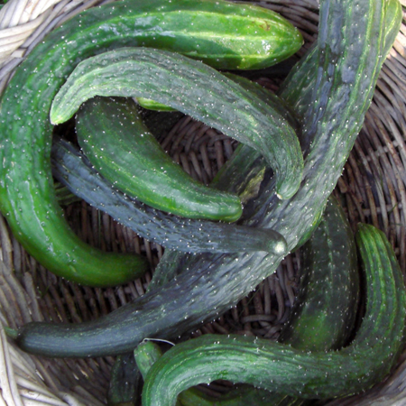 Cucumber 'Suyo Long' Burpless