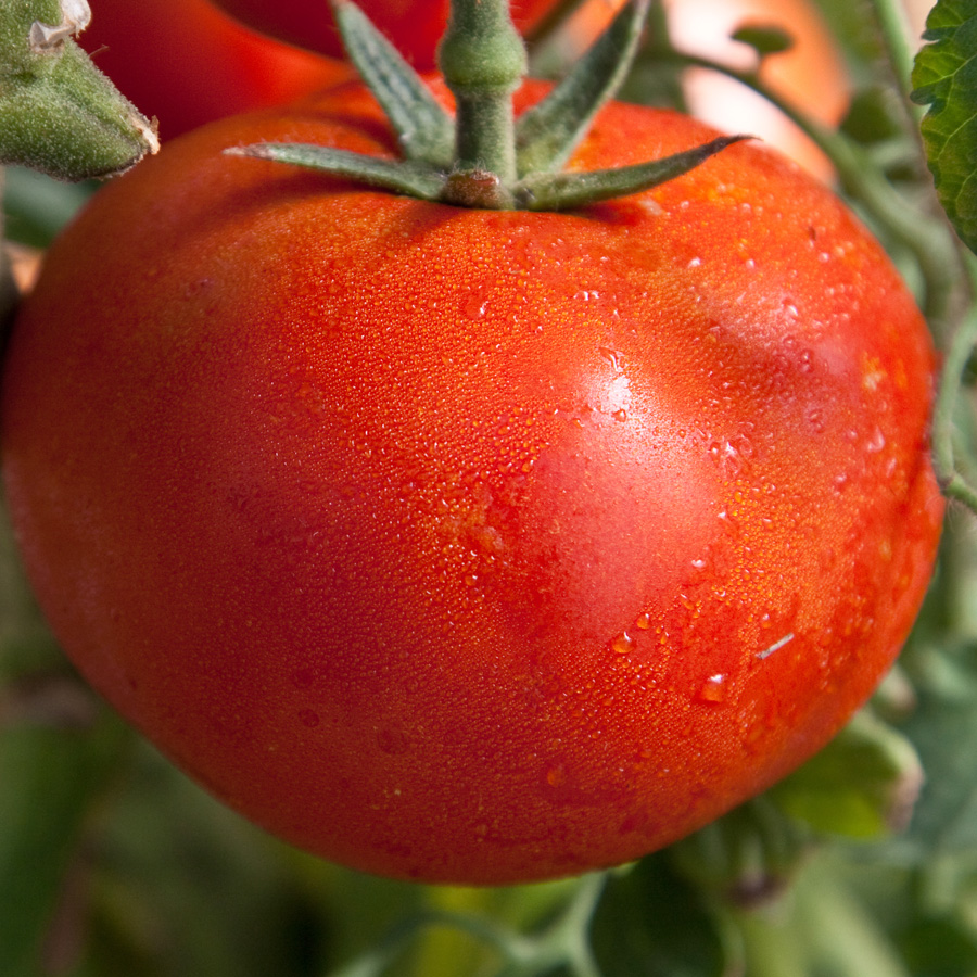 Tomato 'Early Girl'