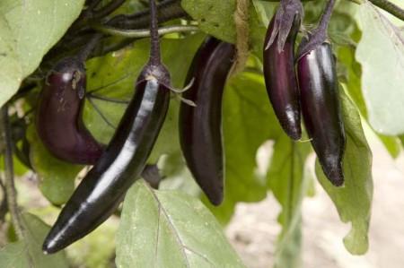 Eggplant 'Millionaire'