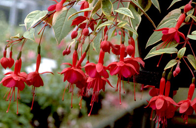 Trailing fuchsia 'Golden Marinka'