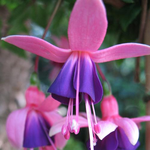 Hardy fuchsia 'Chillerton Beauty'
