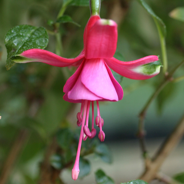 Hardy Fuchsia Display