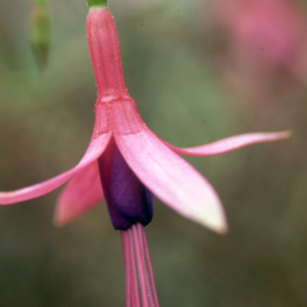 Hardy Fuchsia Little Jewel