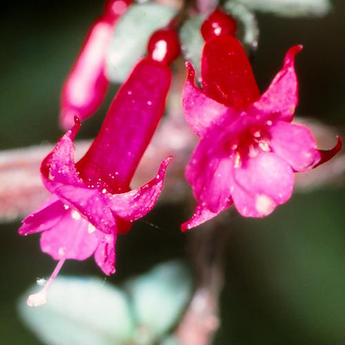 Hardy Fuchsia minutiflora