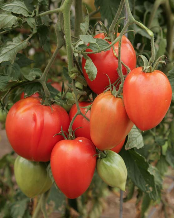 Heirloom Tomato 'Amish Paste'