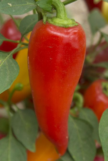 Heirloom Pepper (Hot) 'Santa Fe Grande'