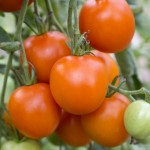 Heirloom Tomato 'Jaune Flamme'