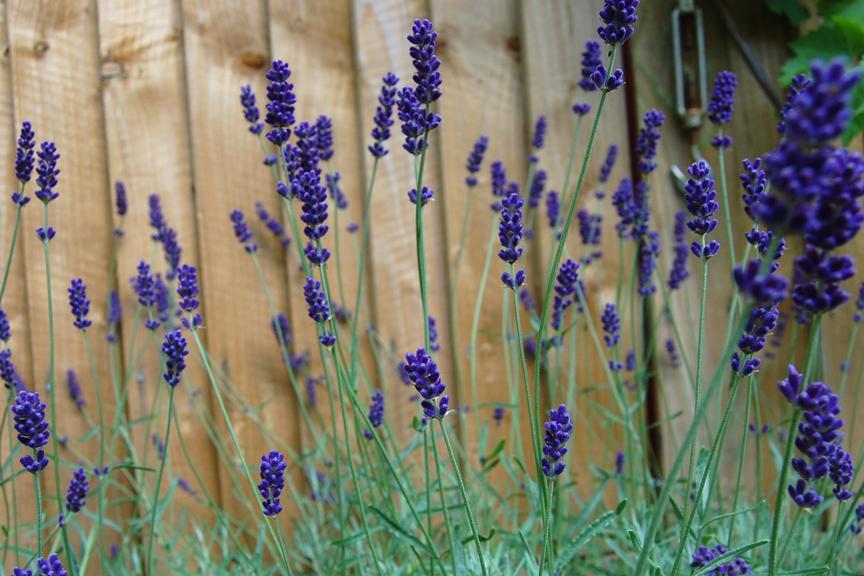 Lavender 'Hidcote Blue' (Lavandula angustifolia cv.)