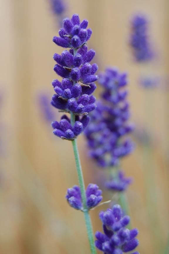 lavender royal purple lavandula angustifolia log house plants