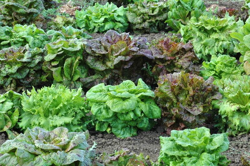 Lettuce 'Freedom Mix'