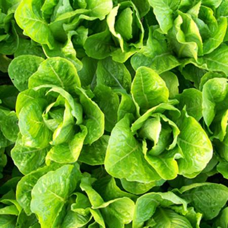 Lettuce 'Jericho' Romaine