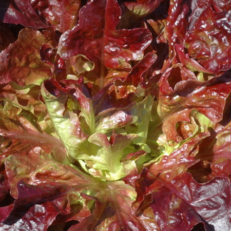 Lettuce 'Merlox Red Oak' Oakleaf