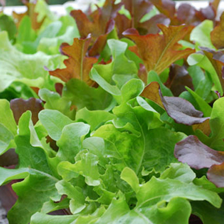 Lettuce 'Oak Leaf'