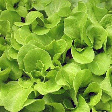 Lettuce 'Tom Thumb' Mini Butterhead