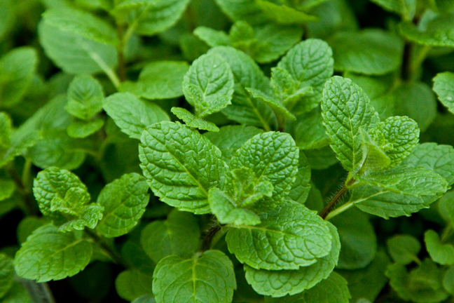 MINT 'Apple' (Mentha suaveolens)
