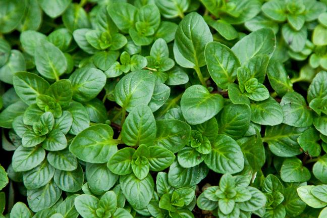 Mint Basal (Mentha sp.)