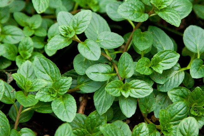 Mint 'Black Mitcham' (Mentha x piperita)