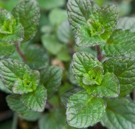 Mint 'Margarita' (Mentha species)