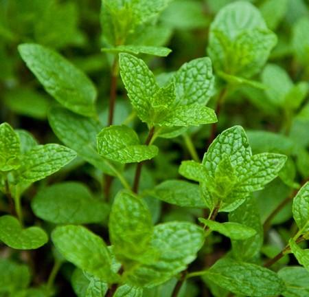 Mint 'Mojito' (Mentha x villosa)