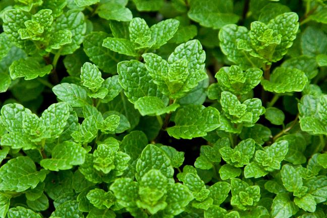 Mint 'Moroccan' (Mentha spicata)